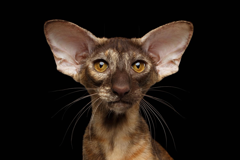 exoticcat.png