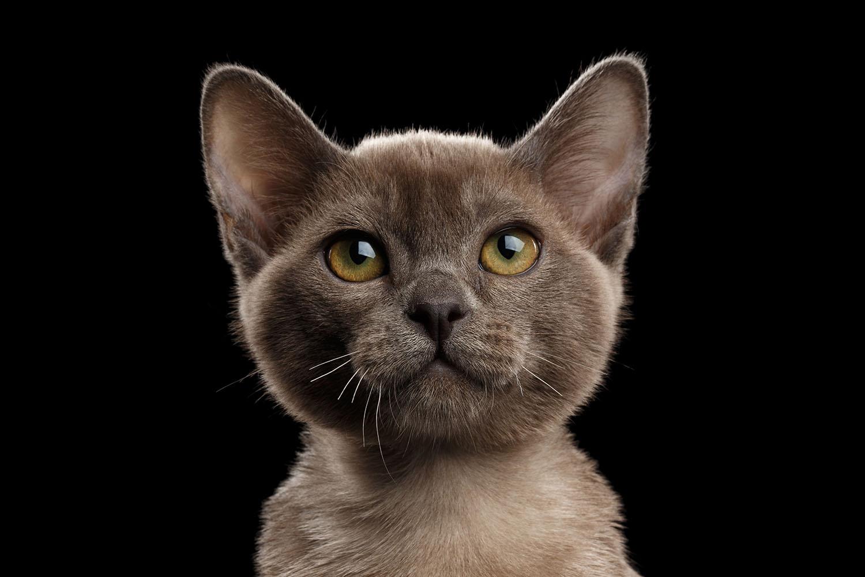 Burmese_kitten_closeup.jpg