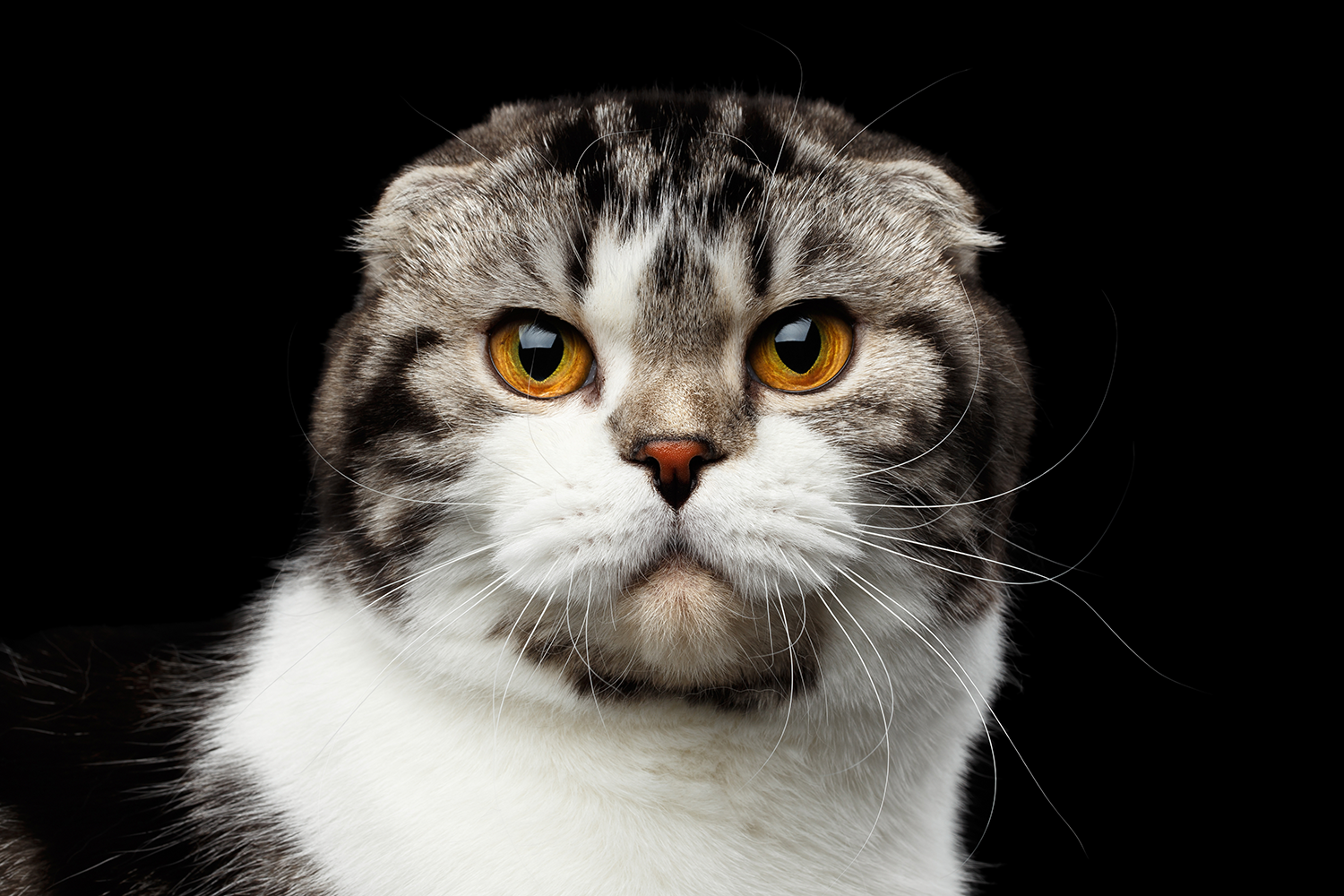 Scottish fold.png