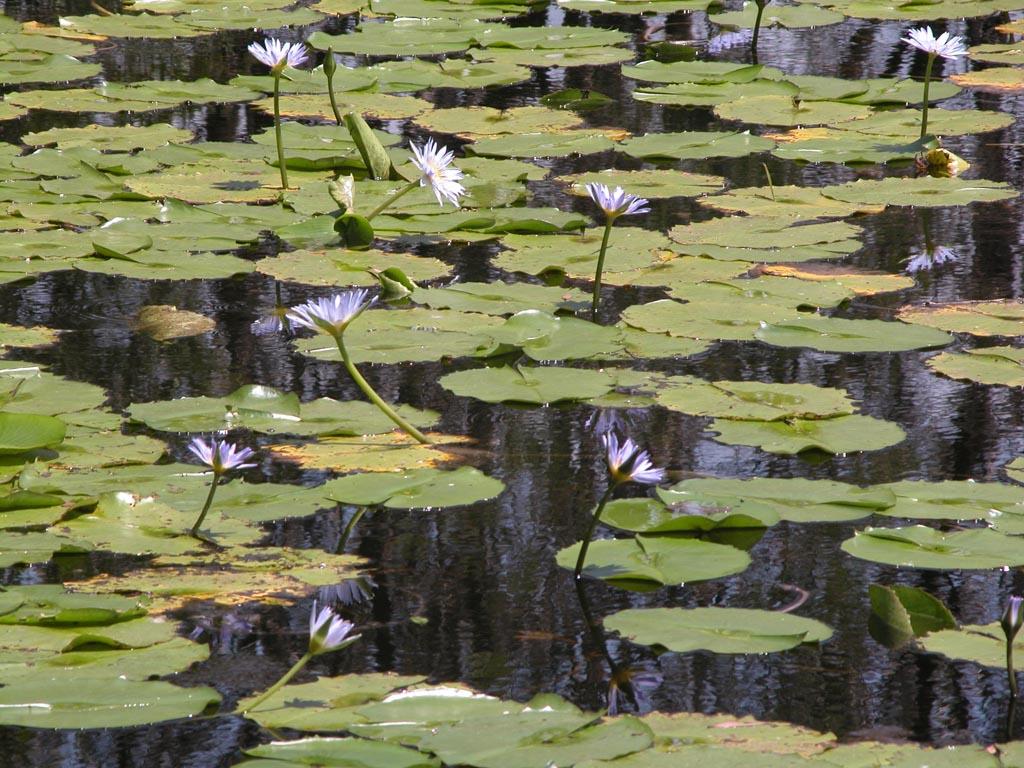 Lily Pond Plomer Road008.JPG