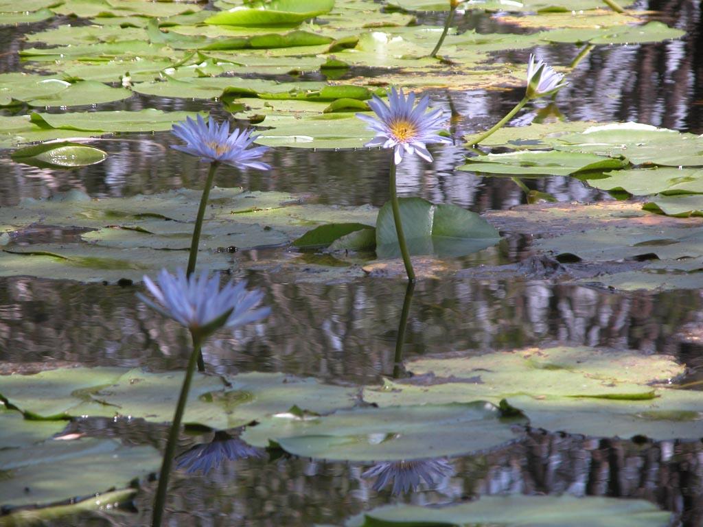 Lily Pond Plomer Road015.JPG