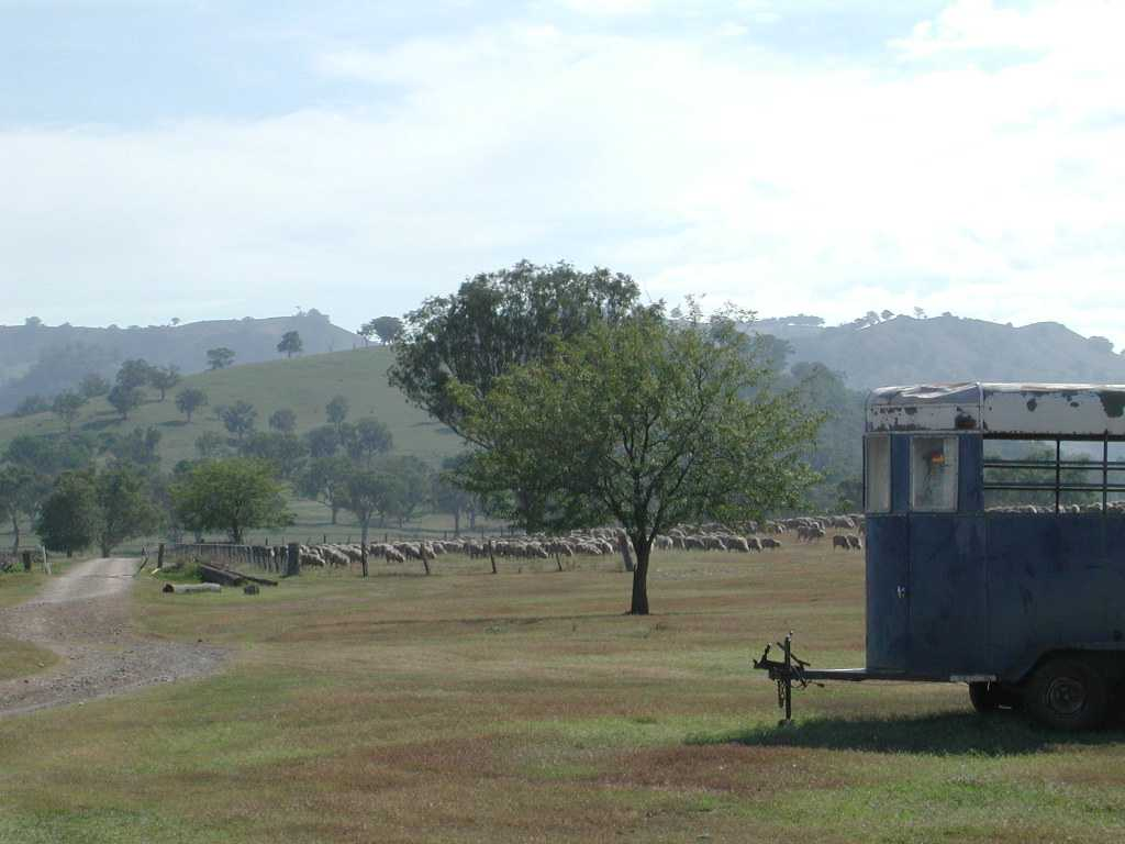 Murrurundi Sheep.jpg