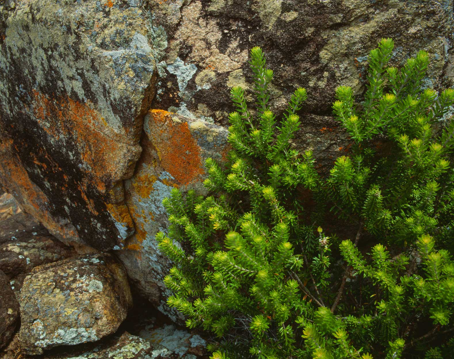 native-rosemary-&lichens-stockton-bight.jpg