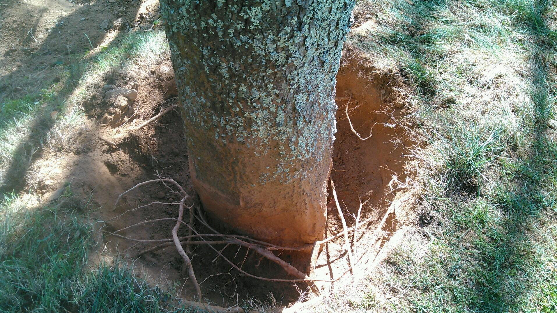 Root collar excavation, and root structural corrections, reduces stress on trees.  -
