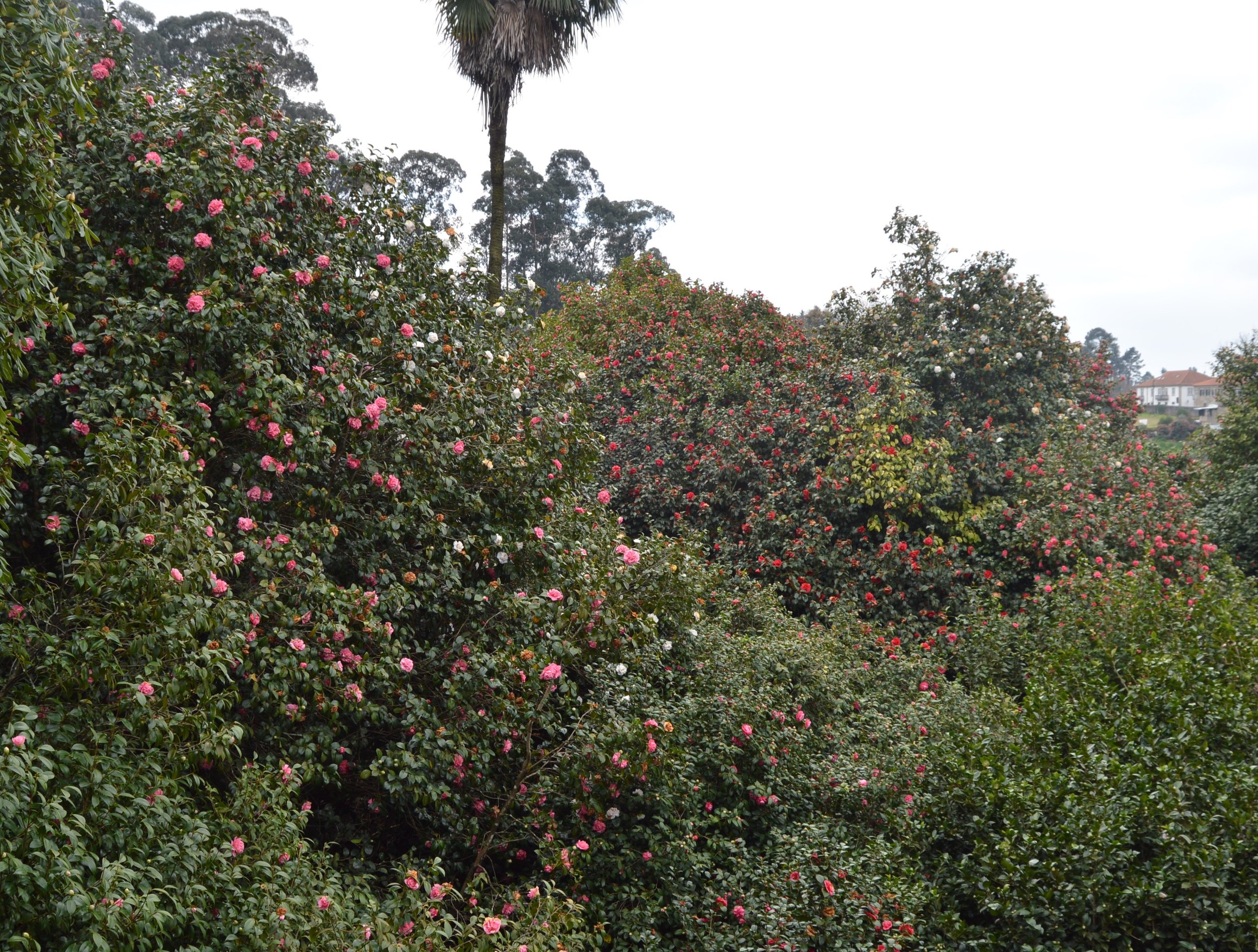 largest camellias.jpg