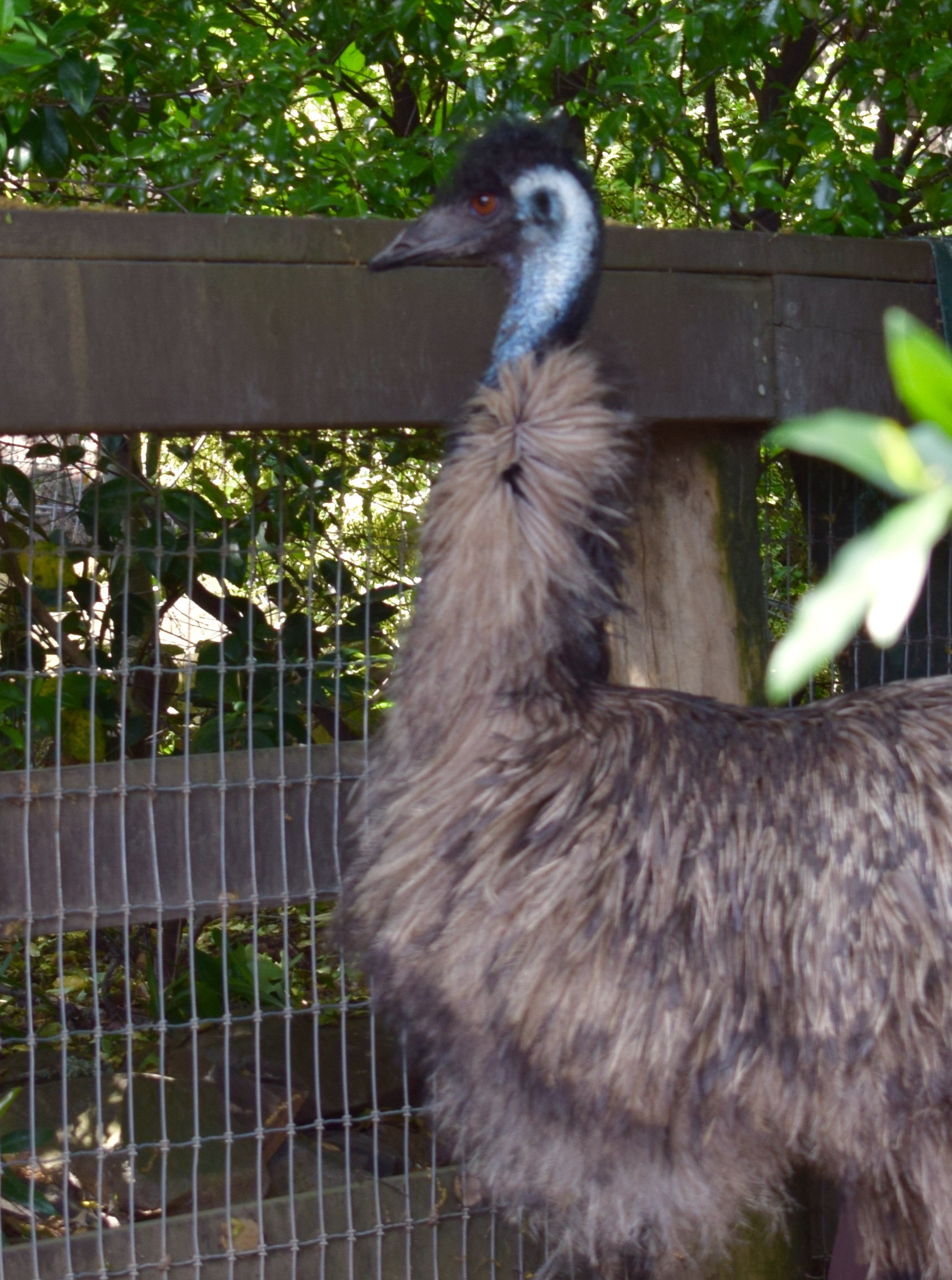 Our emu is named Doris, which suits her fabulous personality to a T!  Doris was found racing around a golf course in a panic after being hit by a car.  Once a group of volunteers managed to corral her, Doris was checked by a vet and brought to Lyon Ranch.  Despite her rough start Doris has proven to be very affectionate and curious.