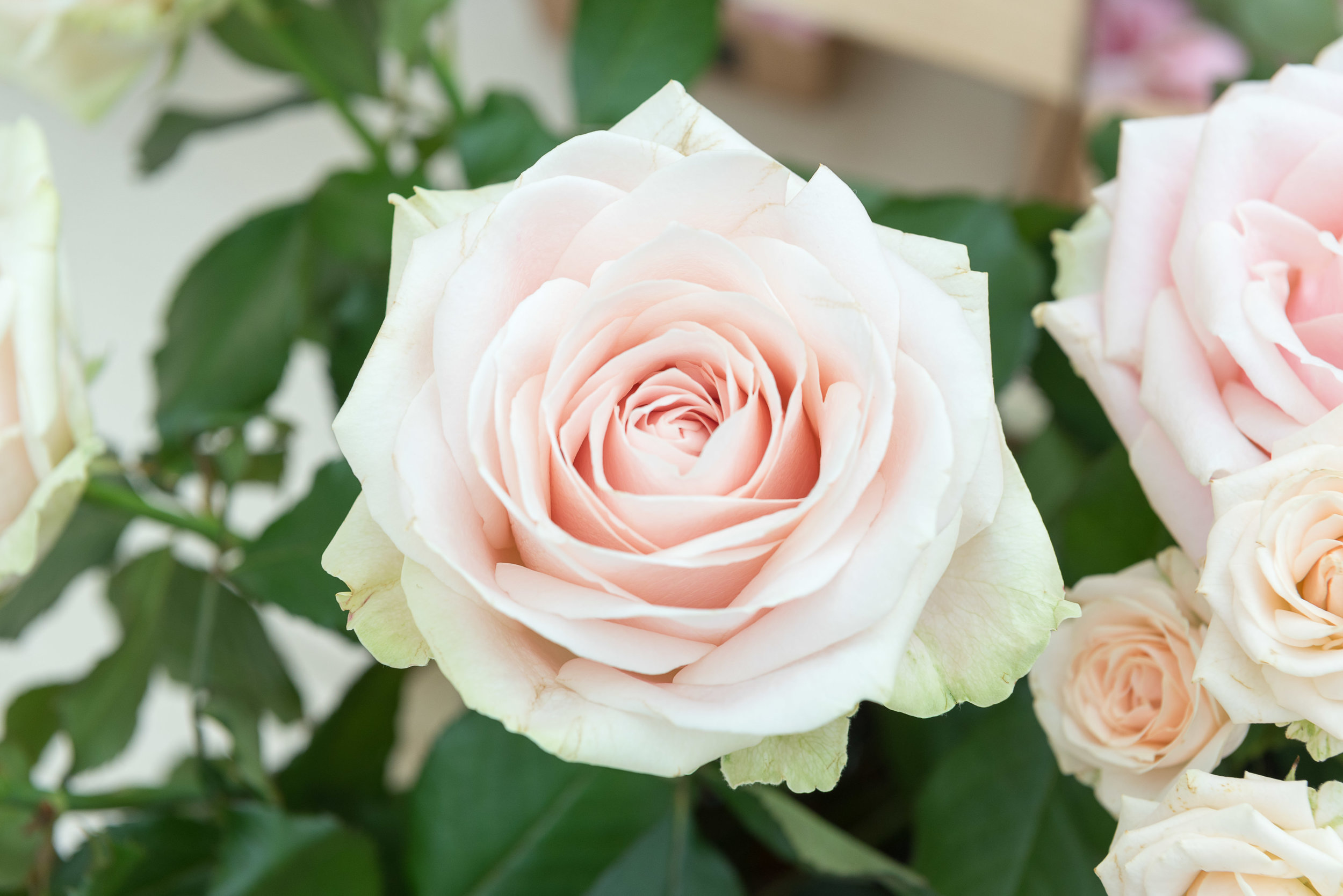 Single pale pink rose