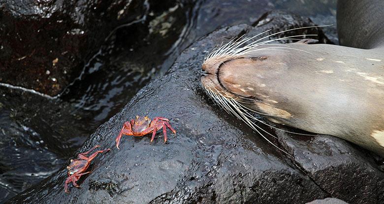 galapagos animales cangrejo lobo marino