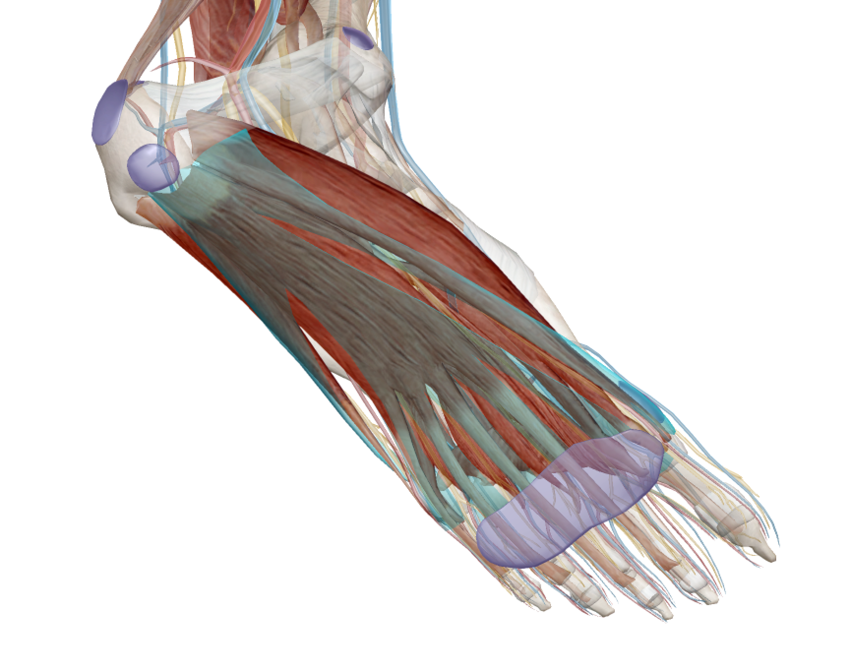 Figure 1: The plantar fascia, highlighted in green.
