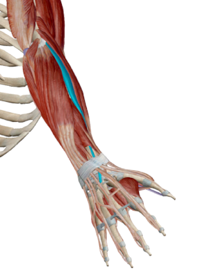 Figure 1: The muscles of the forearm with extensor carpi radialis brevis (ECRB) highlighted.