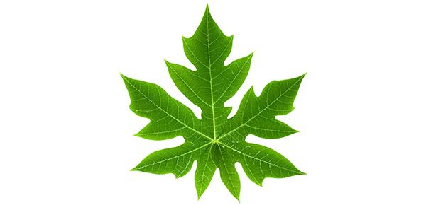 Hawaiian papaya leaf