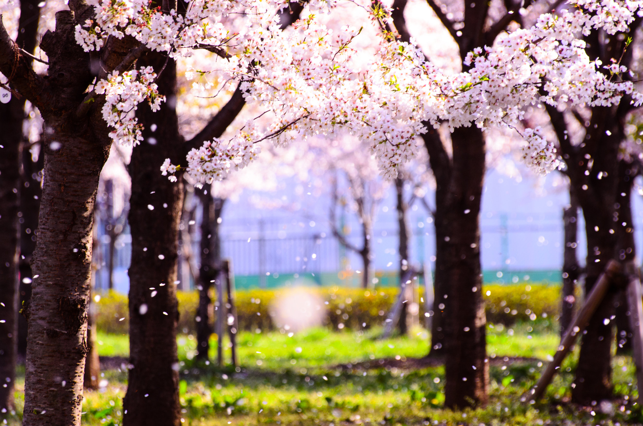 pathway through the cherry trees with blossoms blowing in the wind