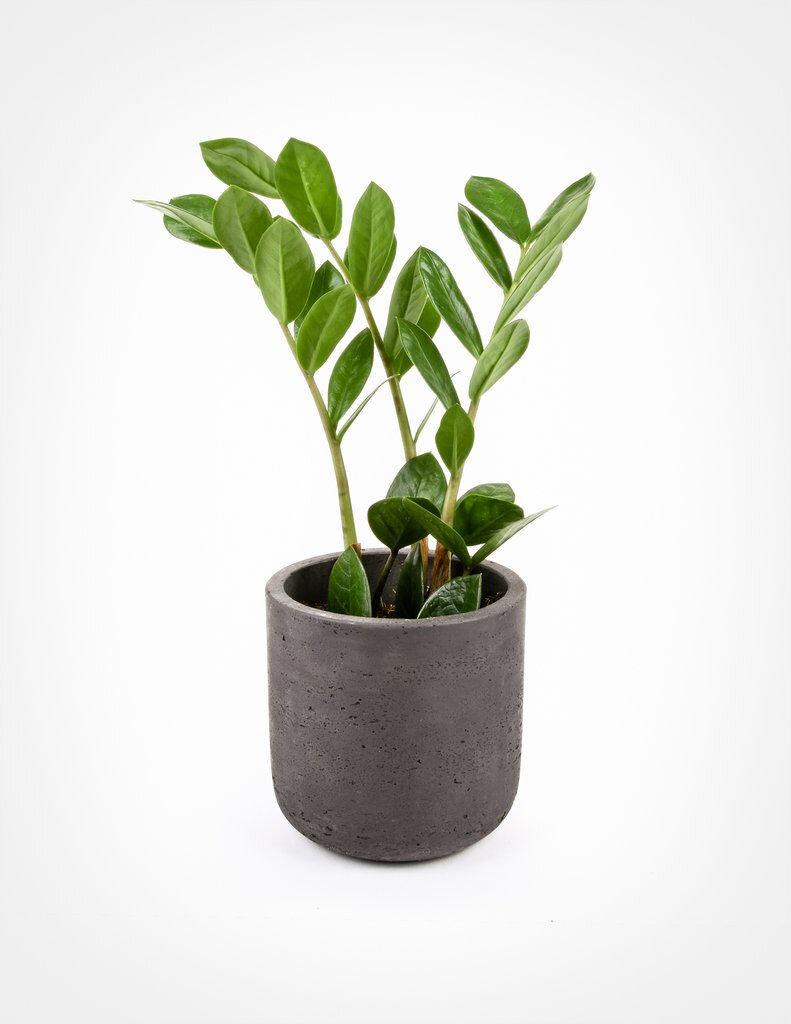 zamioculcas-zamiifolia-zz-plant-pistils-nursery.jpg