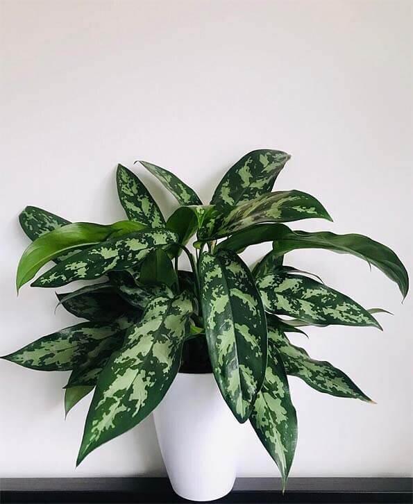 Aglaonema-Chinese-Evergreen-Maria.jpg