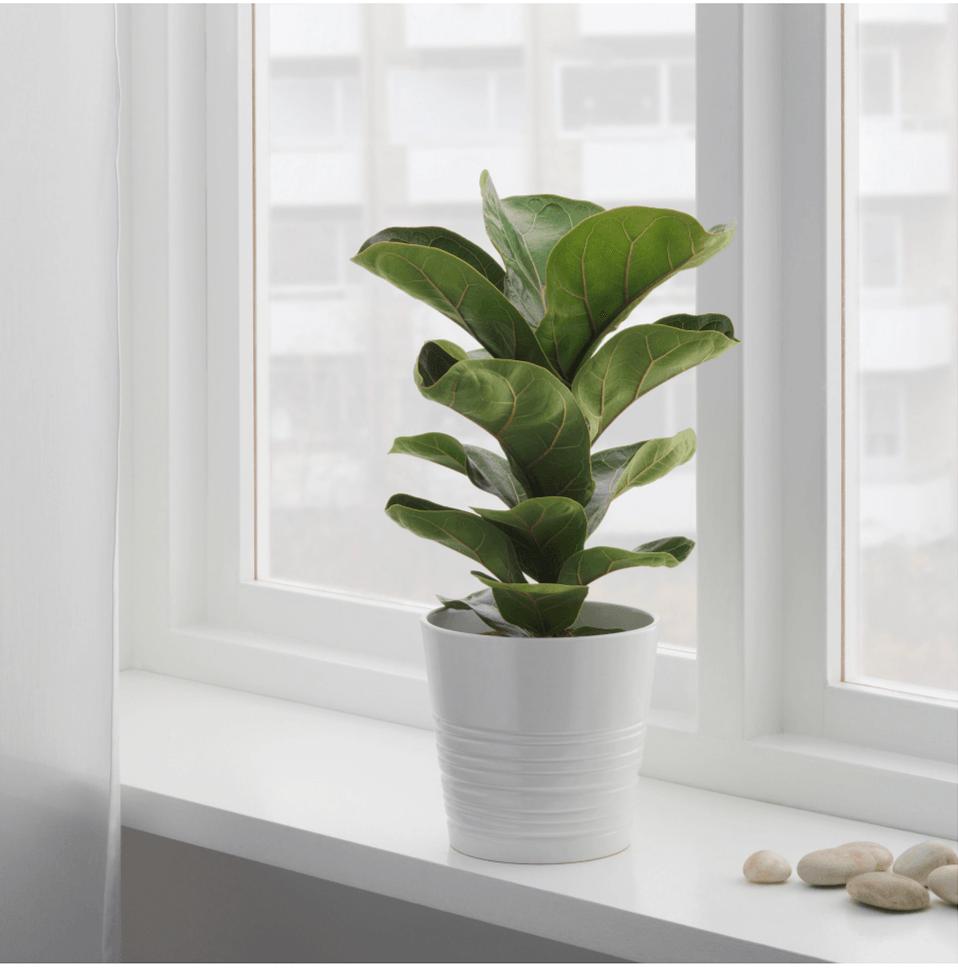 fiddle-leaf-fig-tree-ikea.png