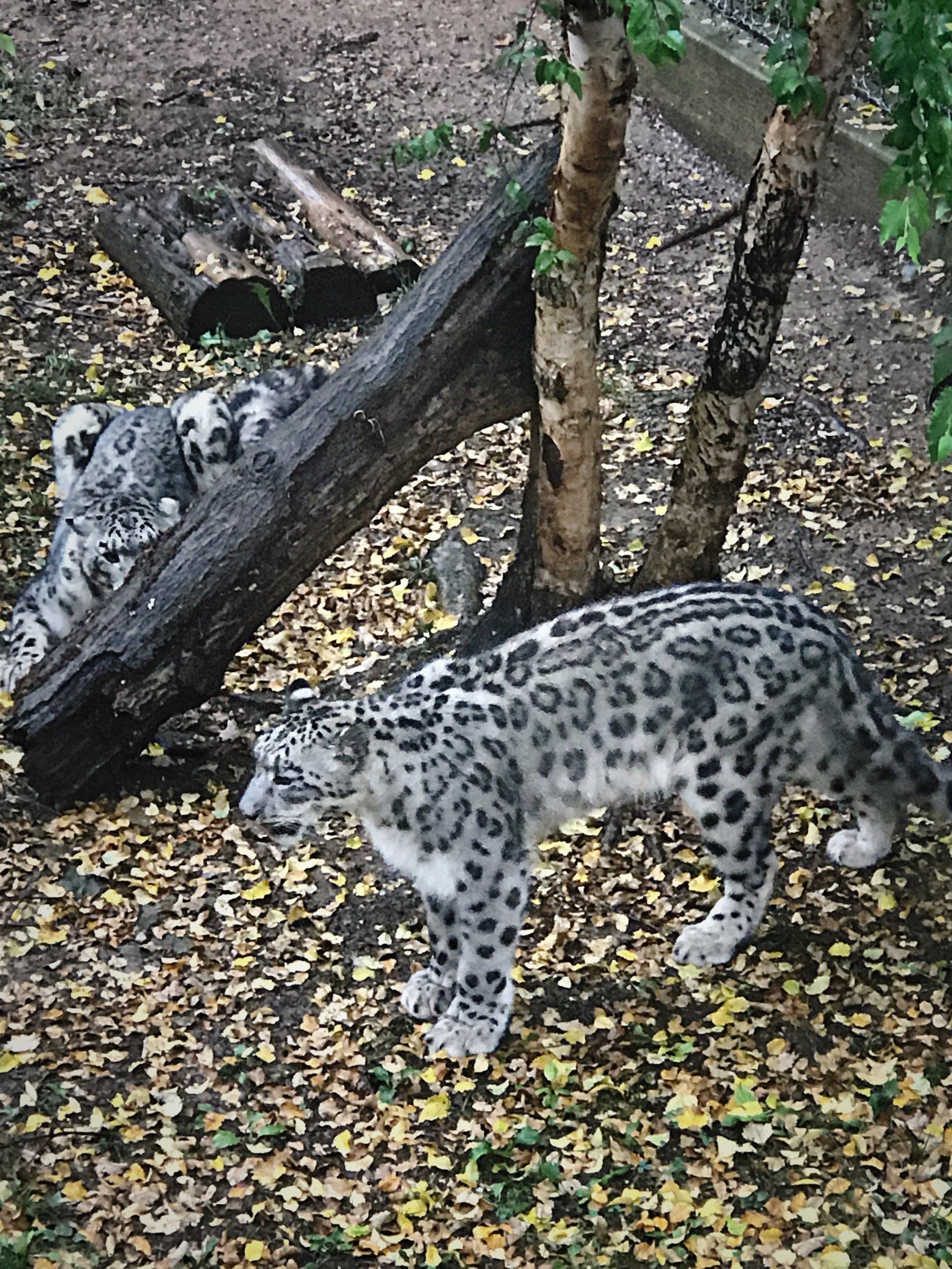 Snow Leopard. So fuzzy.