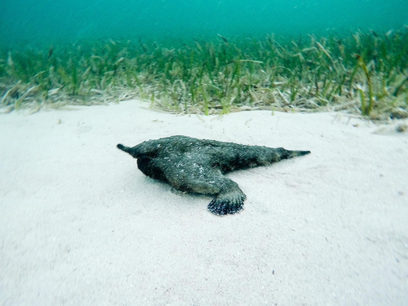 A What???!!!! A batfish!!! A SwimVacation first!