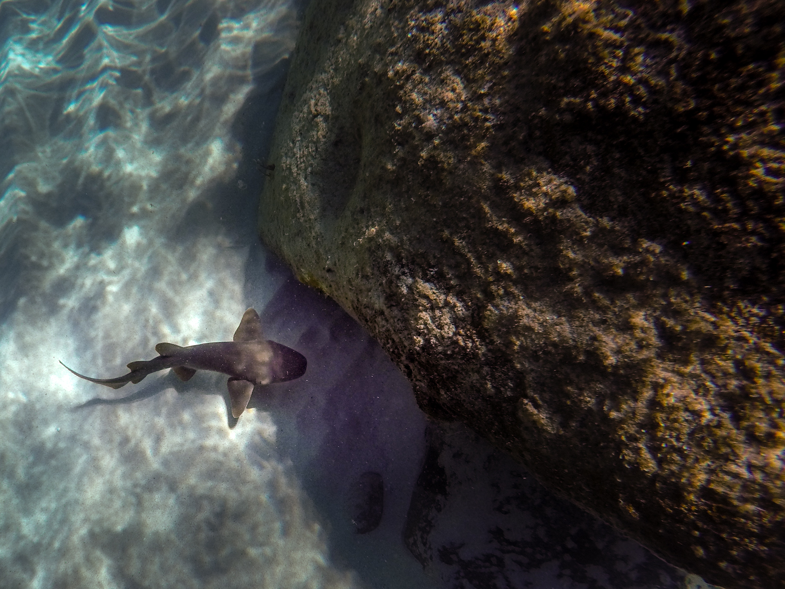 We spotted a baby nurse shark seeking the shelter of a rock ledge on our Baths rock swim.