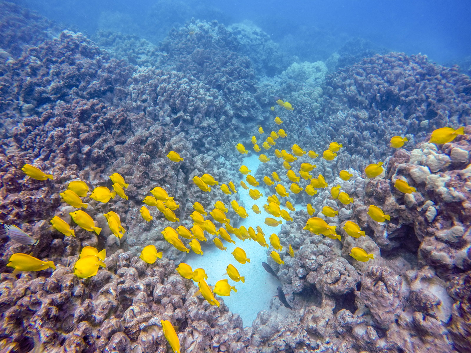 Stunning schools of yellow tang circle huge mounds of corals at Two Step.