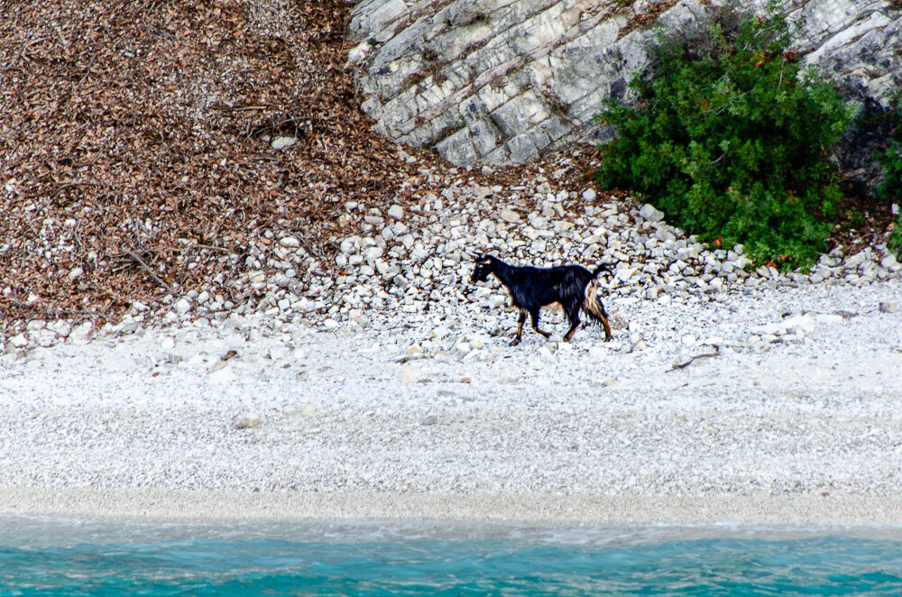 This was one of a handful of goats on Ithaki that now has a backstory.