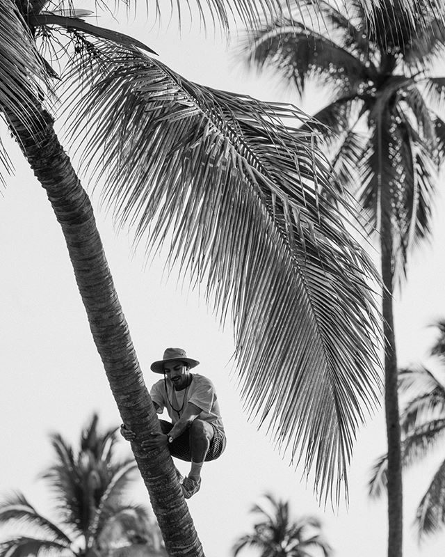 (Sir David Attenborough voice) In Mexico we find 3 different monkey species. Unfortunately they are all endangered. To our amazement, we came across this adult specimen climbing up numerous palm trees in search for food. Or a mate. In his prime, this rare ape could have easily accomplished both by showing off strength and undeniable skill. However we were saddened to see his laborious and painful descent from the palm tree he never accomplished to fully climb. We hope he's doing okay.