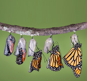 monarch-emerging1.jpg