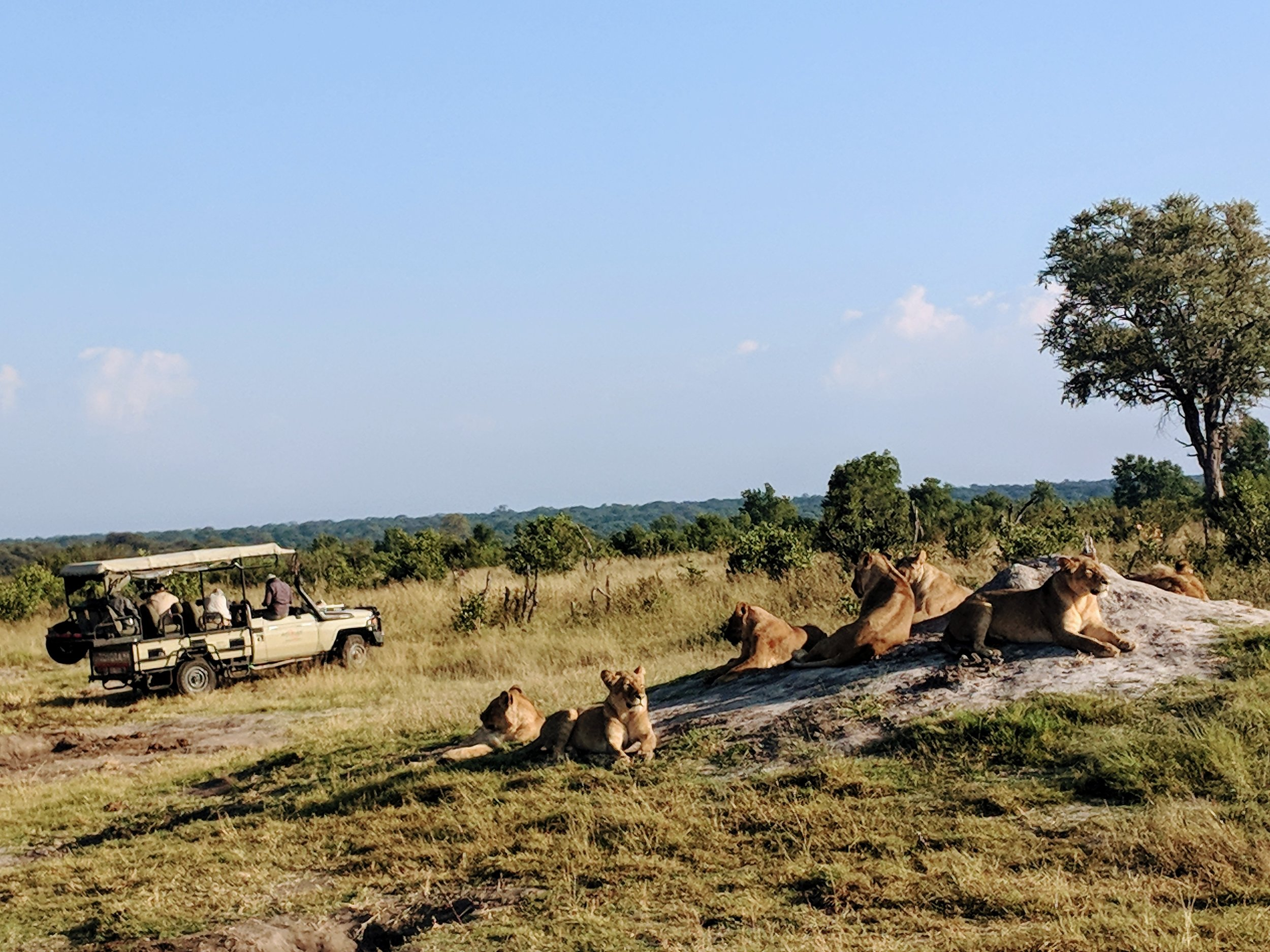 We saw Cecil's pride everyday while on safari at Somalisa Camp and it never got old.