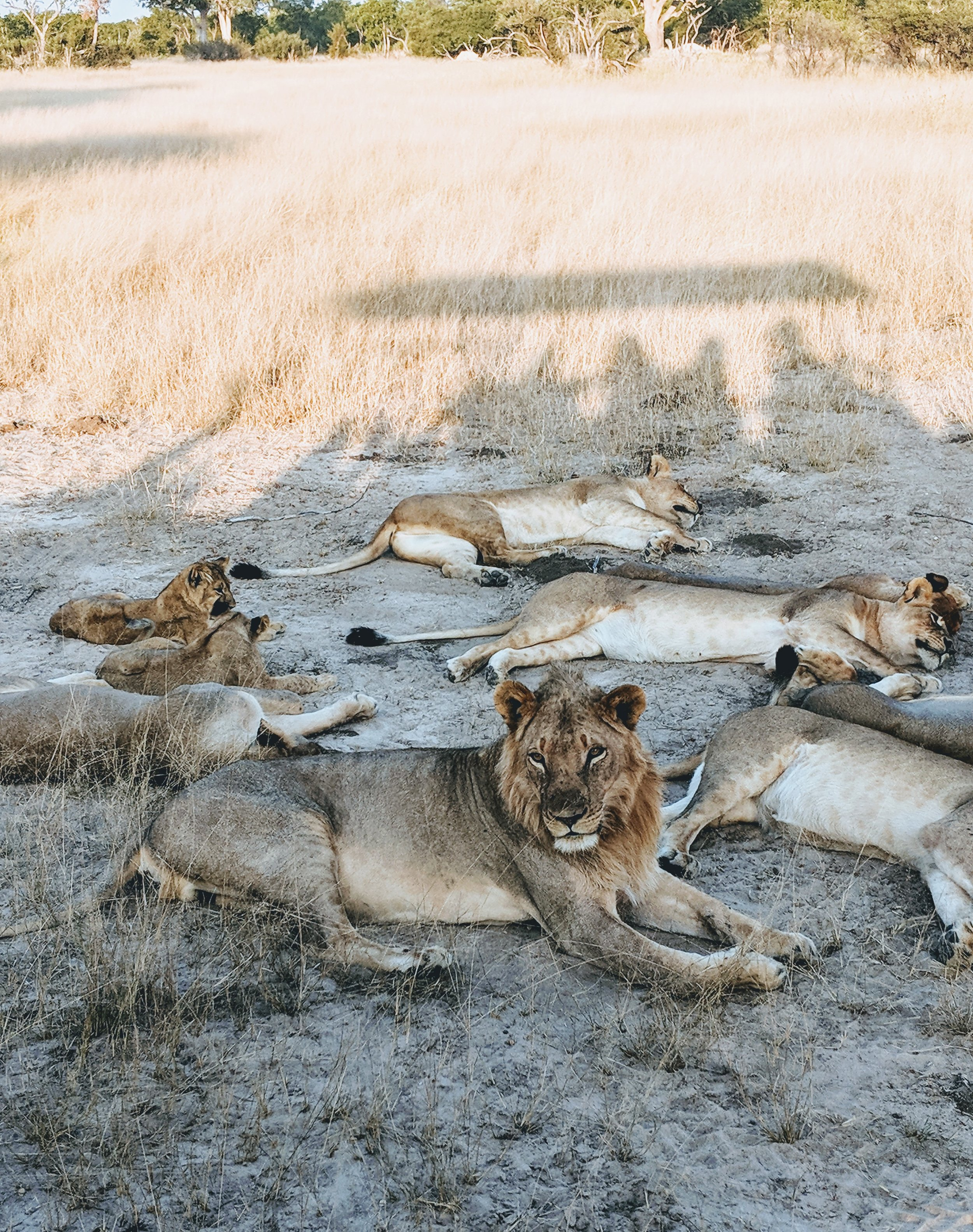 """Bhubesi, the """"stepfather"""" to Cecil's cubs, enjoying a leisurely afternoon"""