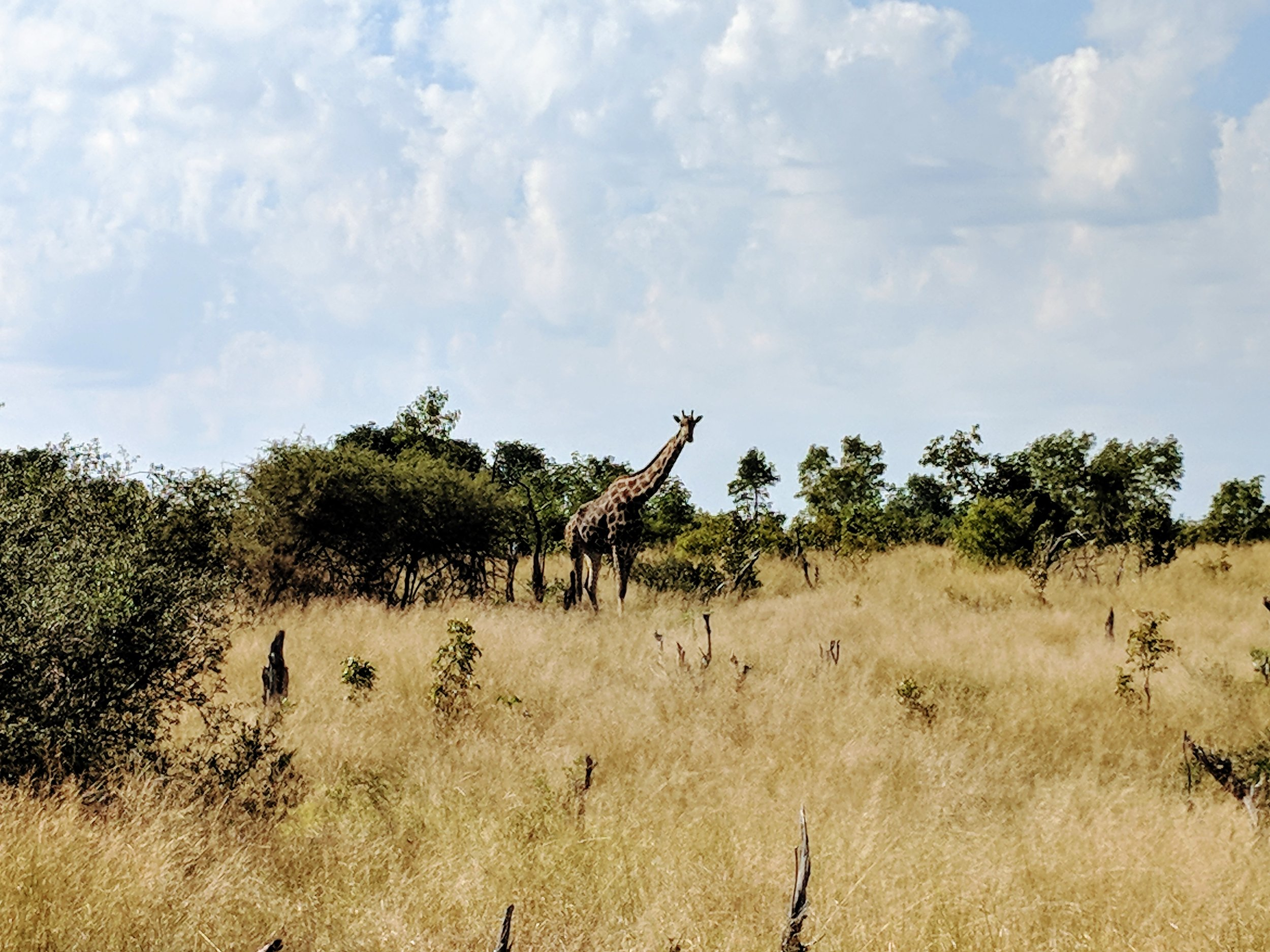 Giraffes were everywhere at Hwange National Park...one of my favorite animals to see!