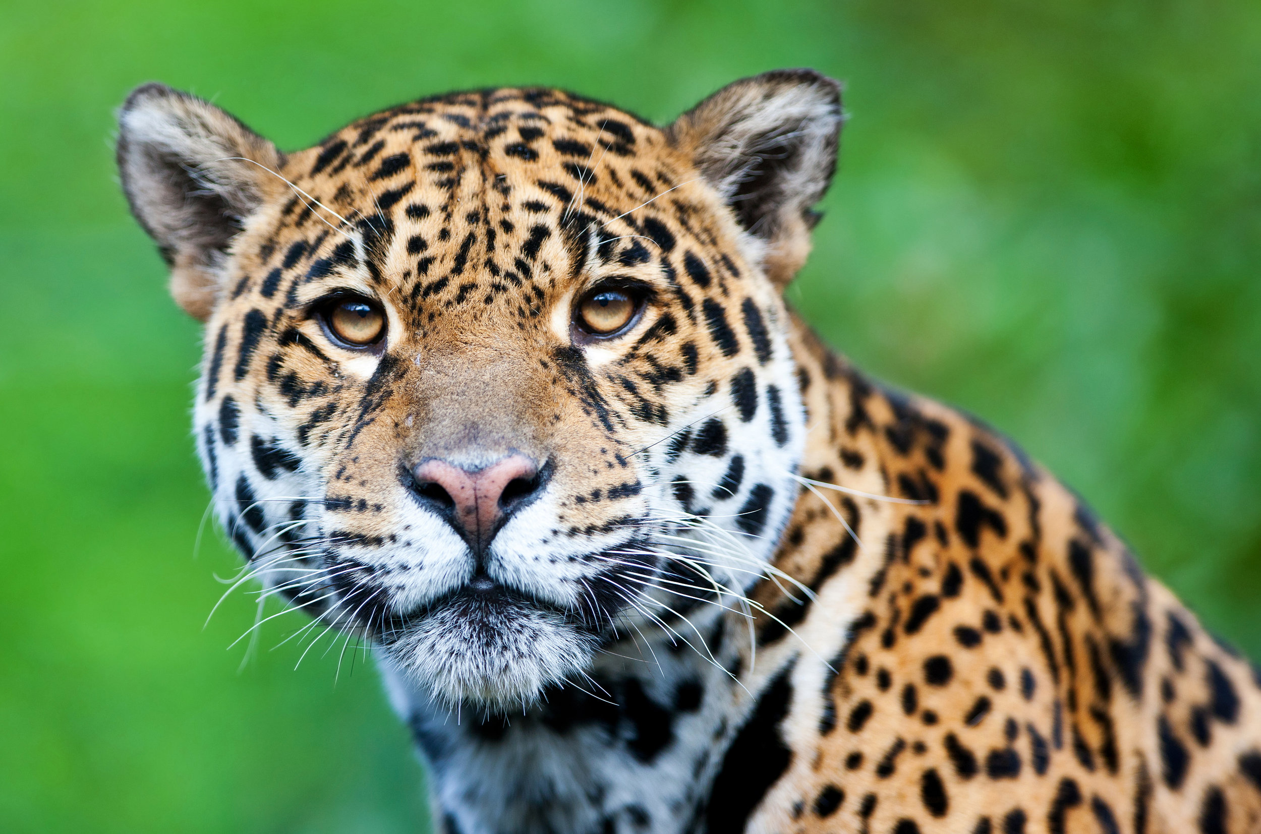 Jaguar in Pantanal, Brazilian Amazon