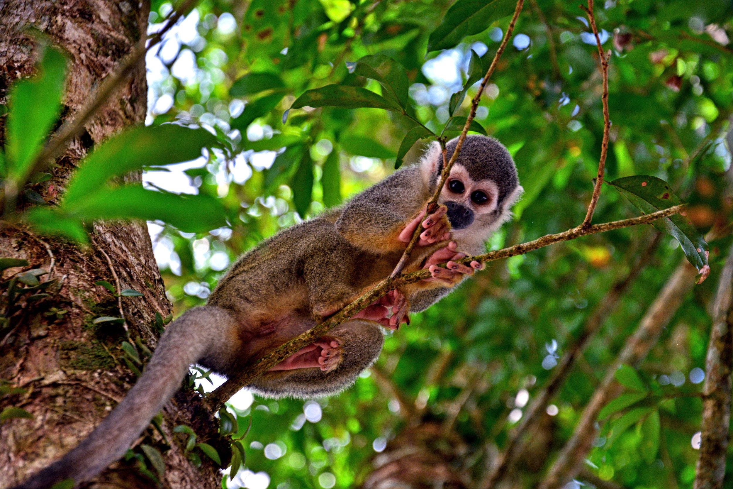 Grey Monkey in Coca, Amazon, Ecuador