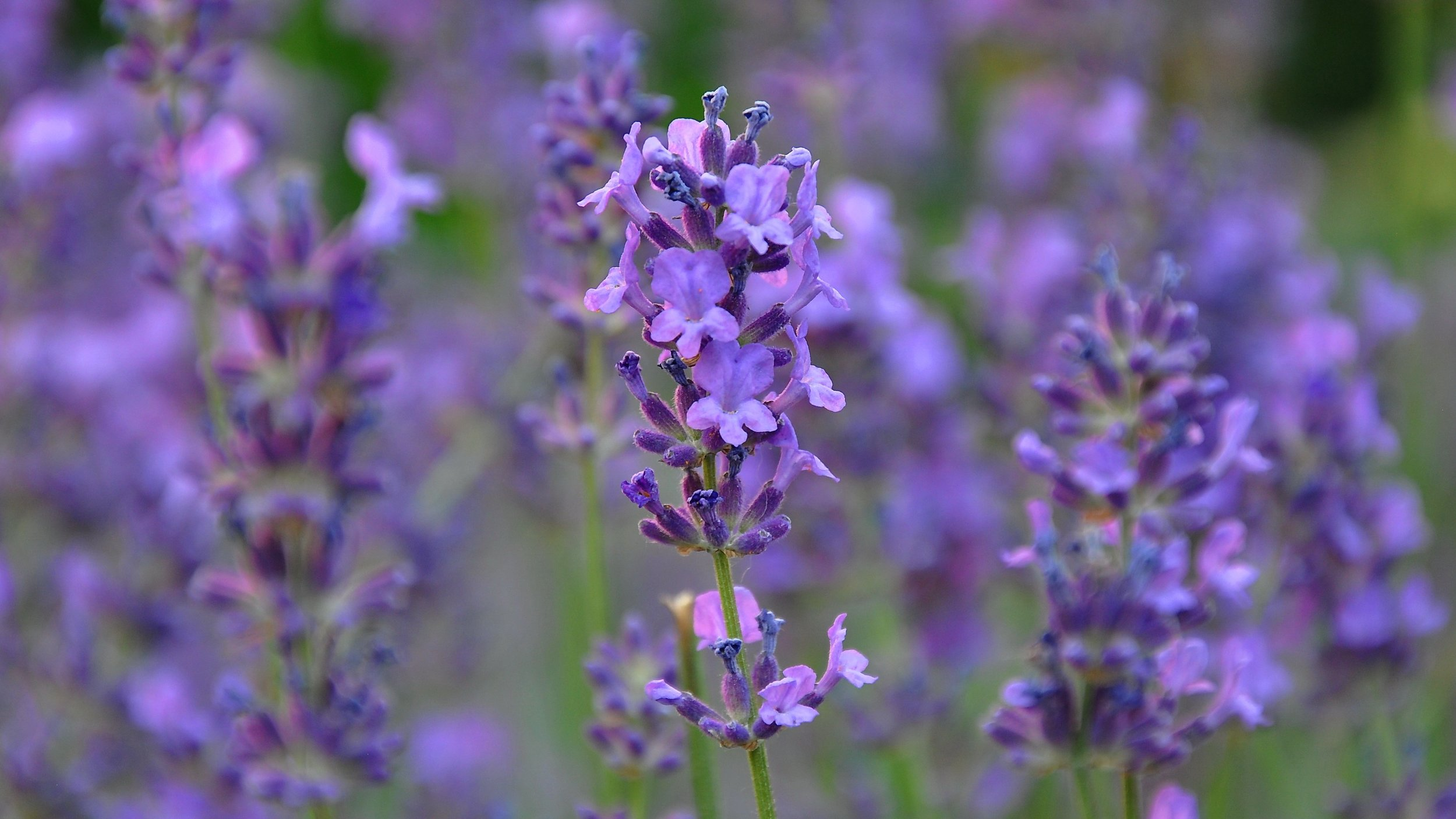 LAVENDER OIL  is one of the most well-known essential oils in aromatherapy, benefits include its ability to Reduces anxiety and stress, migraine and headache relief, improves sleep apnea, disinfect the scalp and skin, Effective treatment for rosacea, acne scars, eczema, psoriasis, alopecia, seborrheic and atopic dermatitis. helps with lice, eggs, and nits.