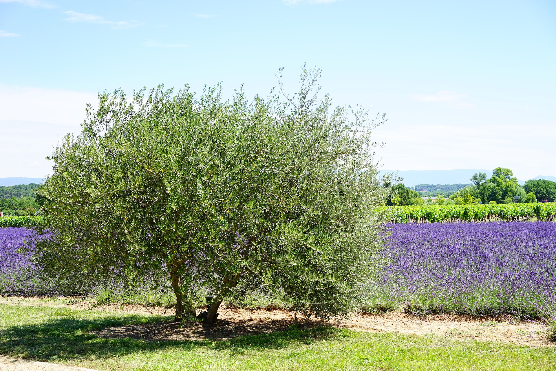 olive-tree-1595493_1920.jpg