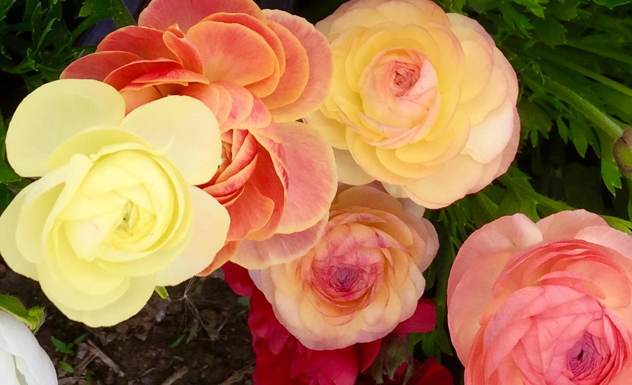ranunculus pastels.jpg