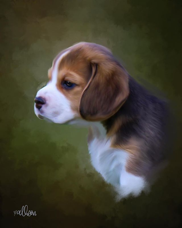 Five week old beagle puppy. #digitalpetpainting