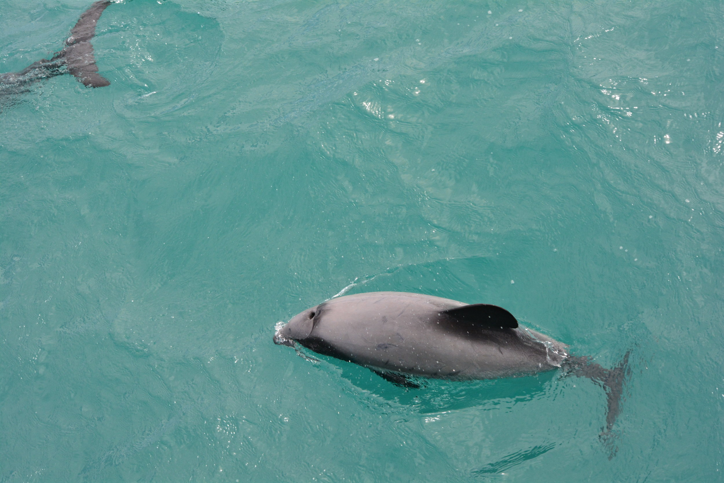 Wee Hector's Dolphins