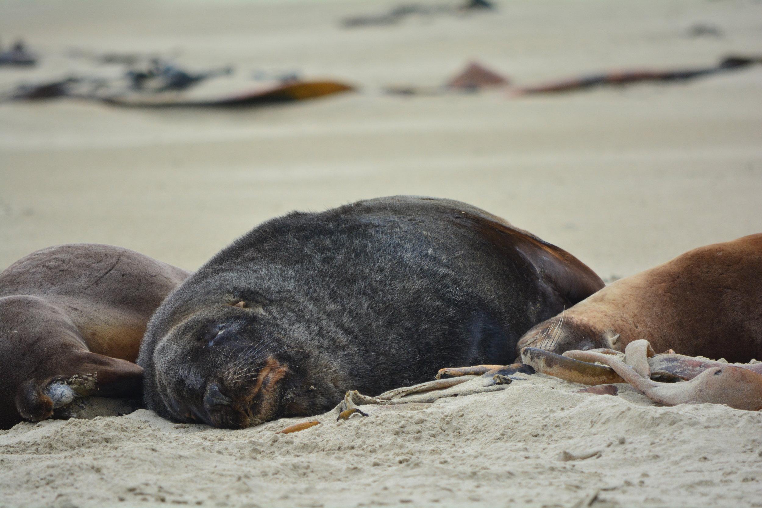 New Zealand Sea Lion Catlins Coast