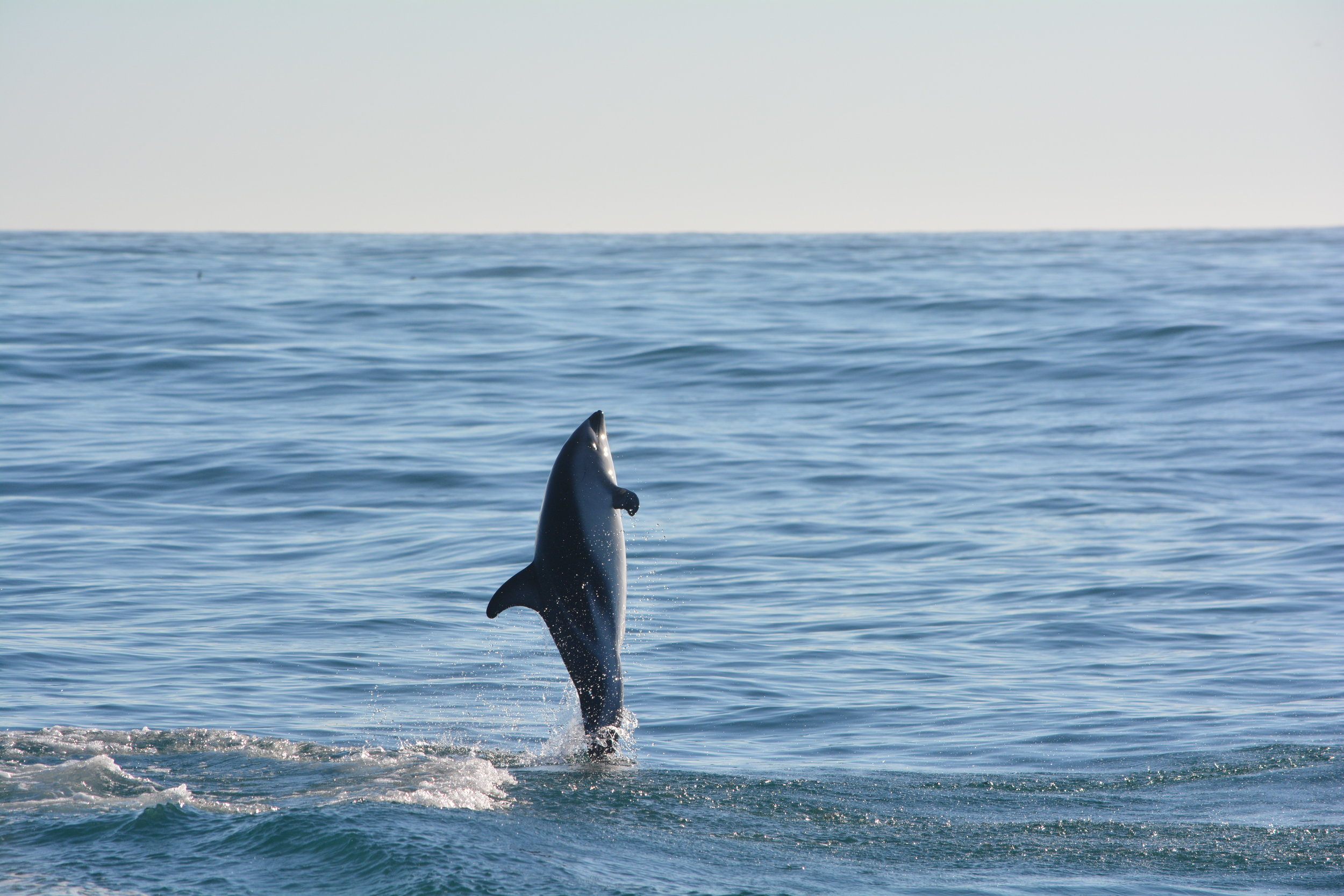 Dusky dolphin kaikoura