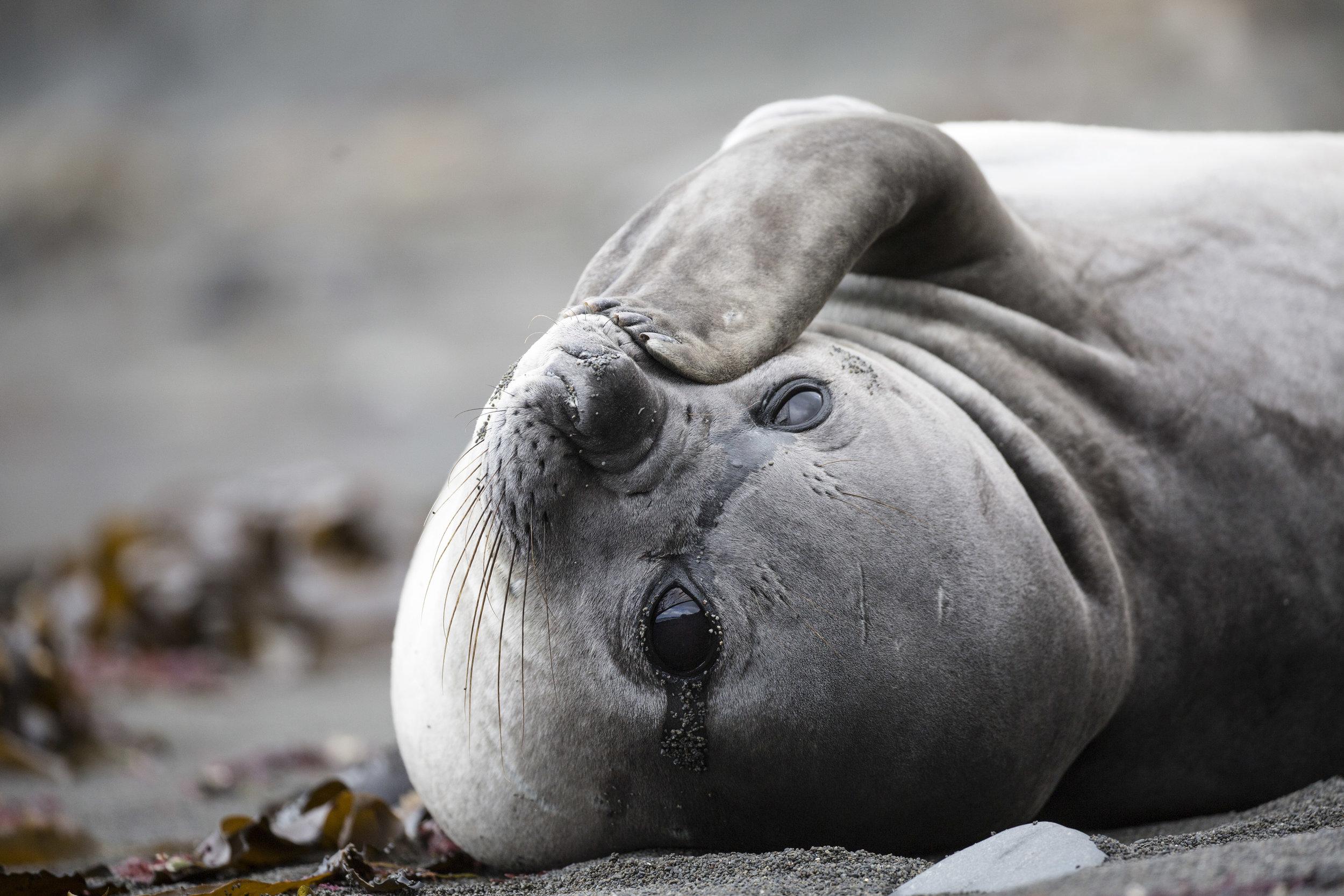 A beautiful lady elephant seal