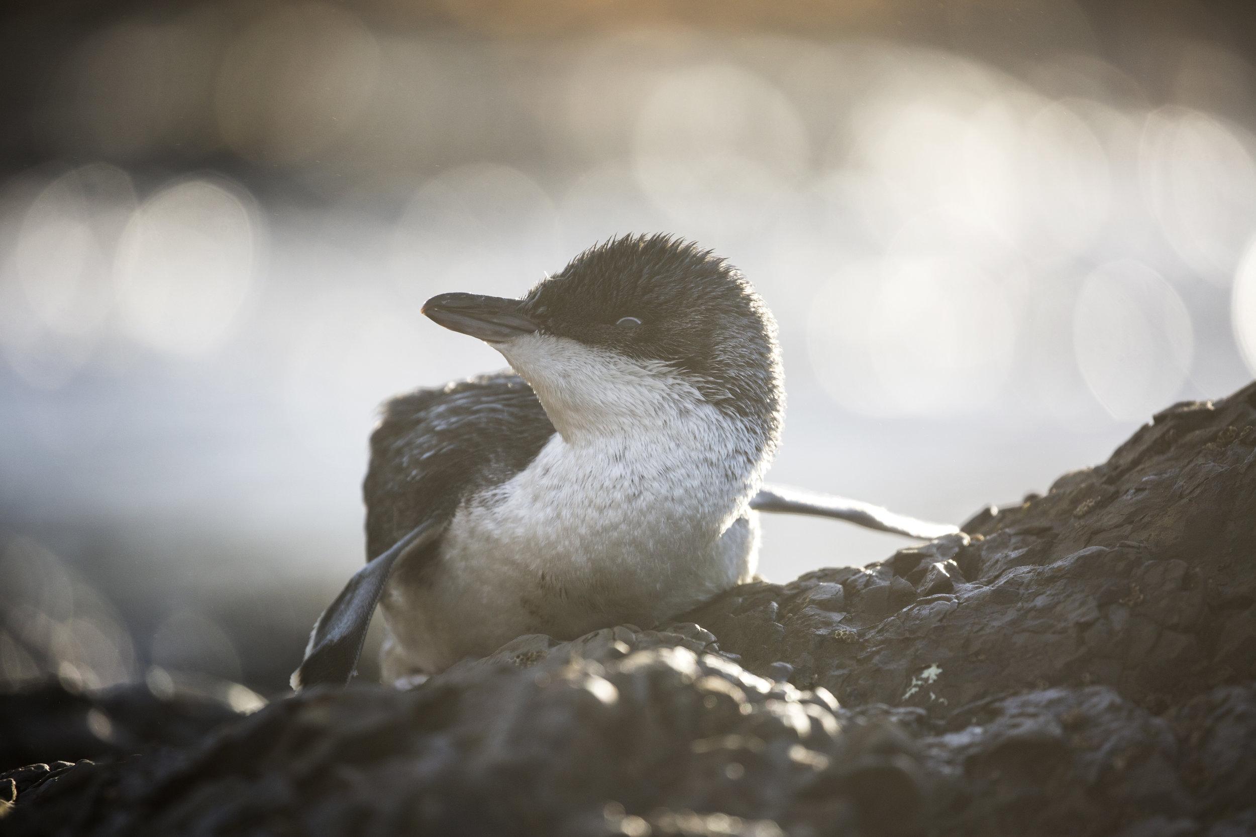 Little blue penguin - the smallest penguin in the world!