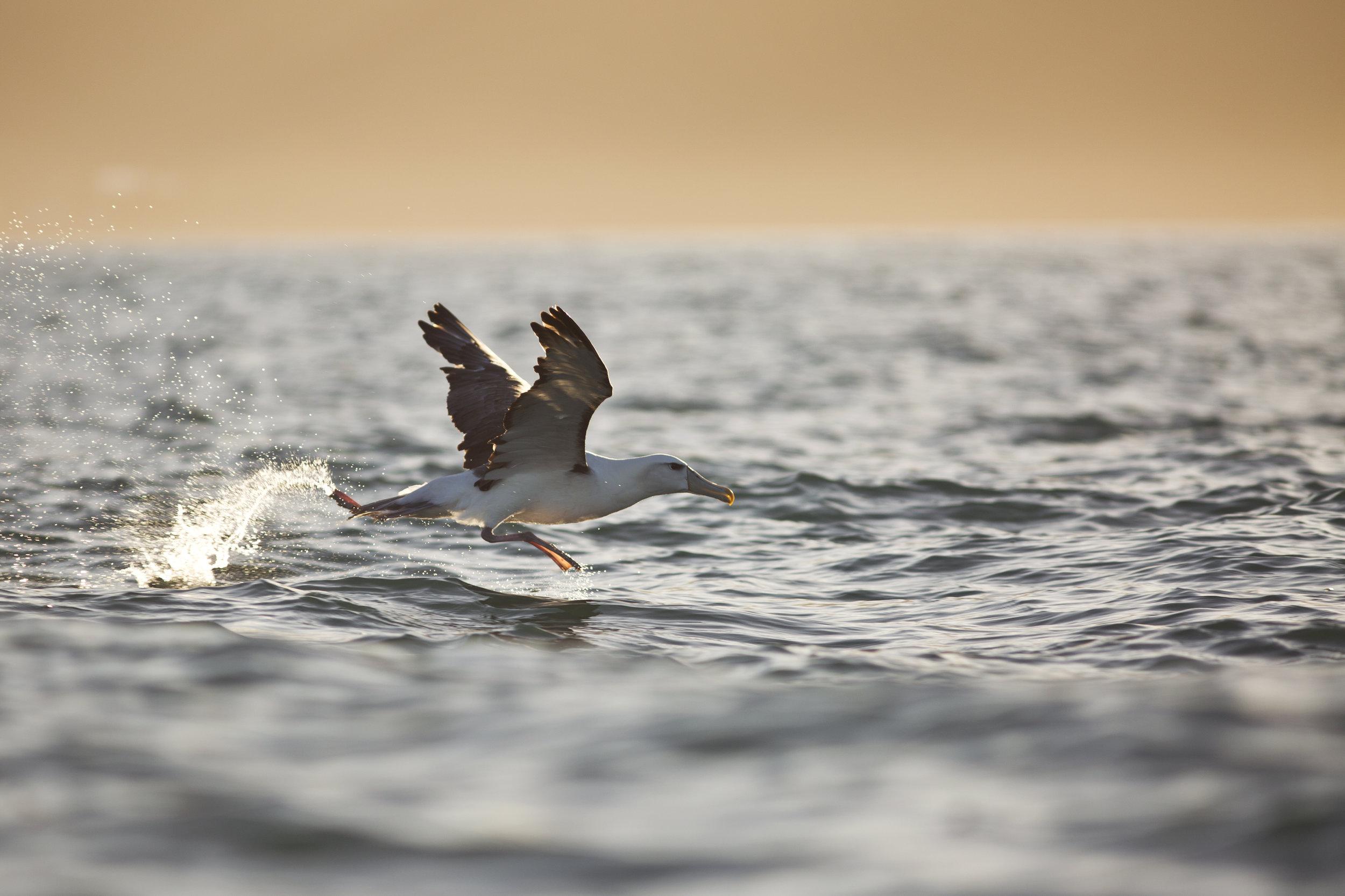 New Zealand white-capped albatross