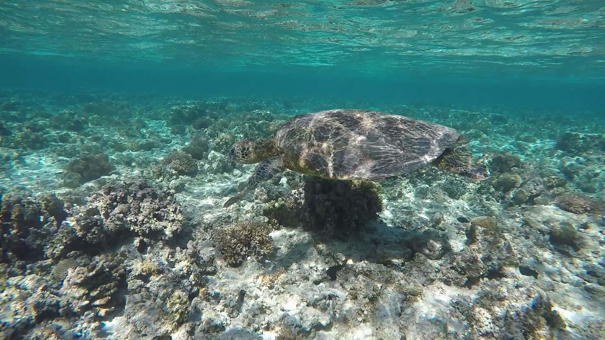 Lady Elliot Island Sea Turtle