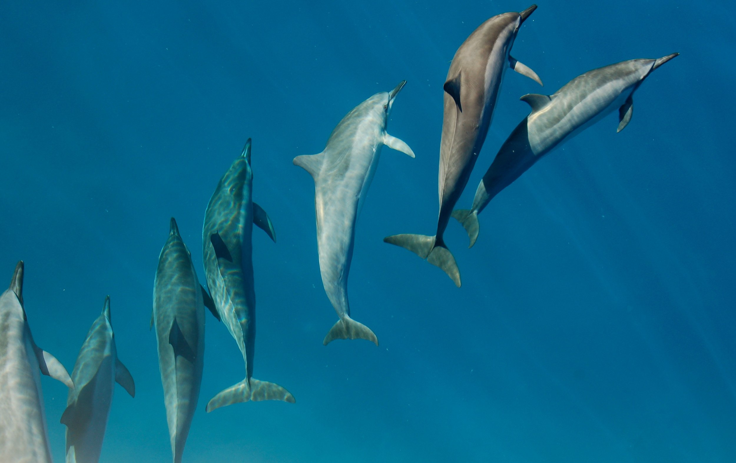 Spinner Dolphins Maui