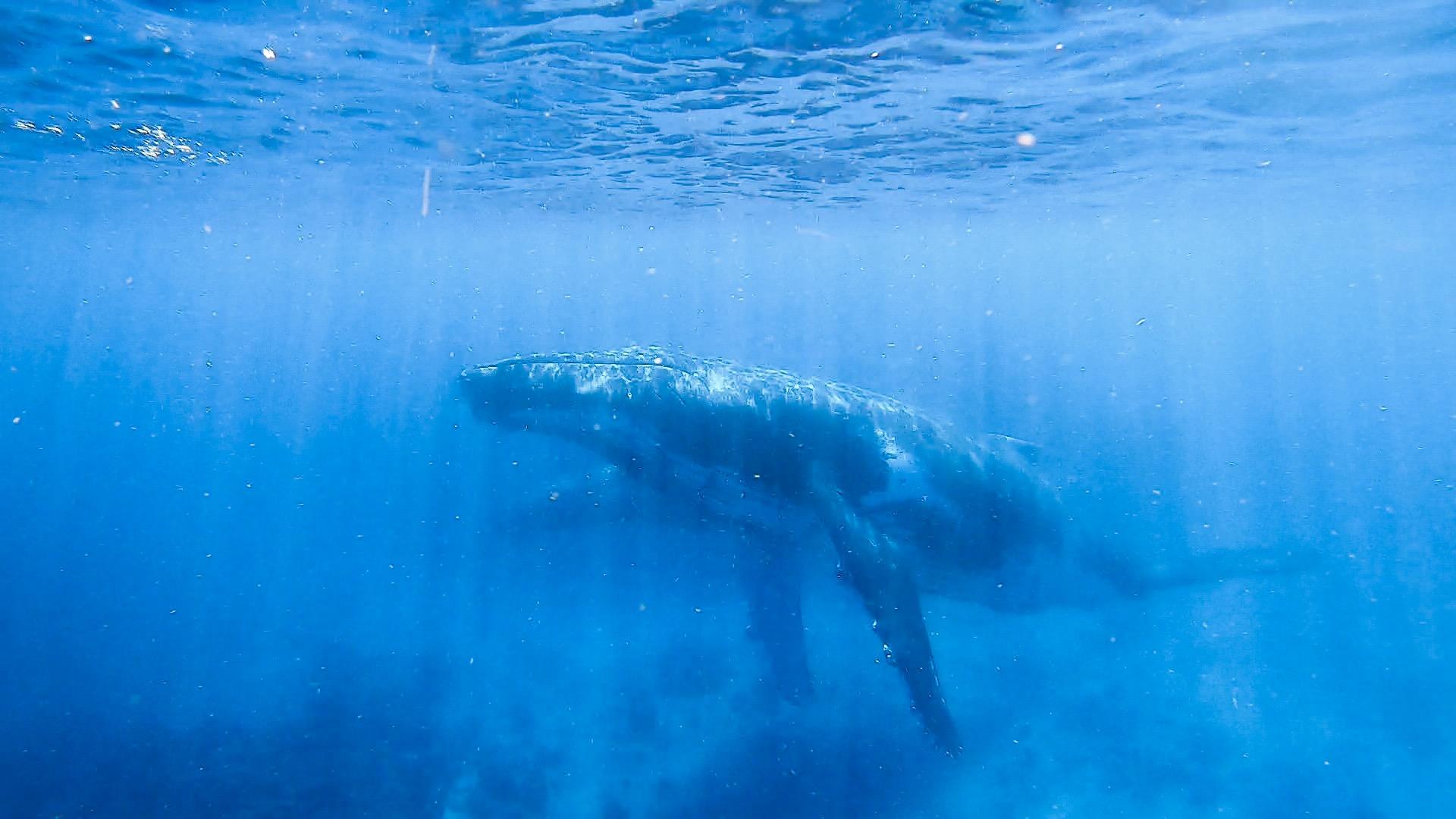 Male Escort with Mom and Calf Behind - Humpback Whales in Ha'apai, Tonga
