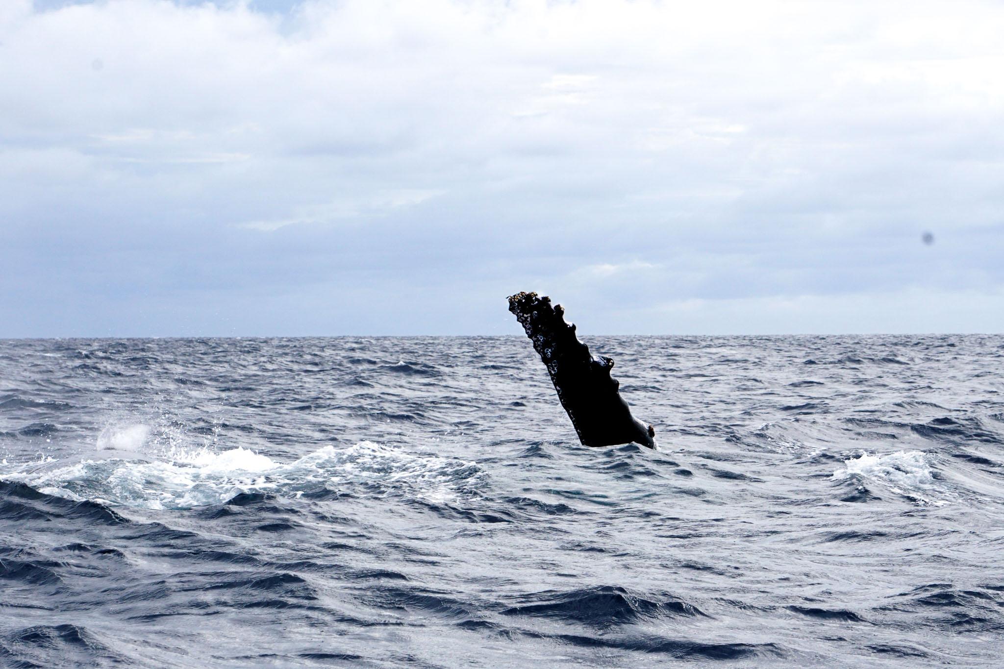 Humpback Whales in Ha'apai, Tonga