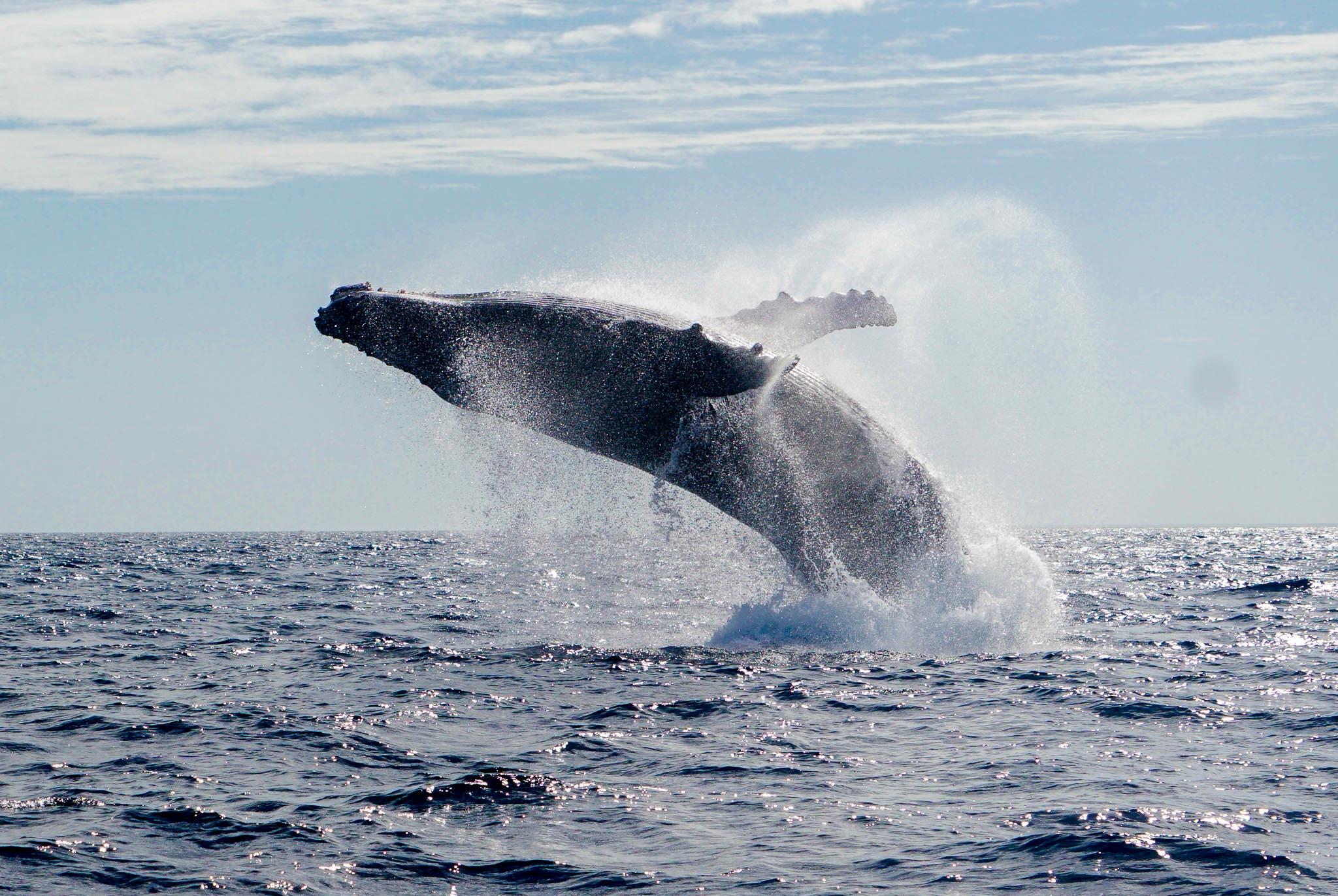Breaching Humpback Whale in Ha'apai, Tonga
