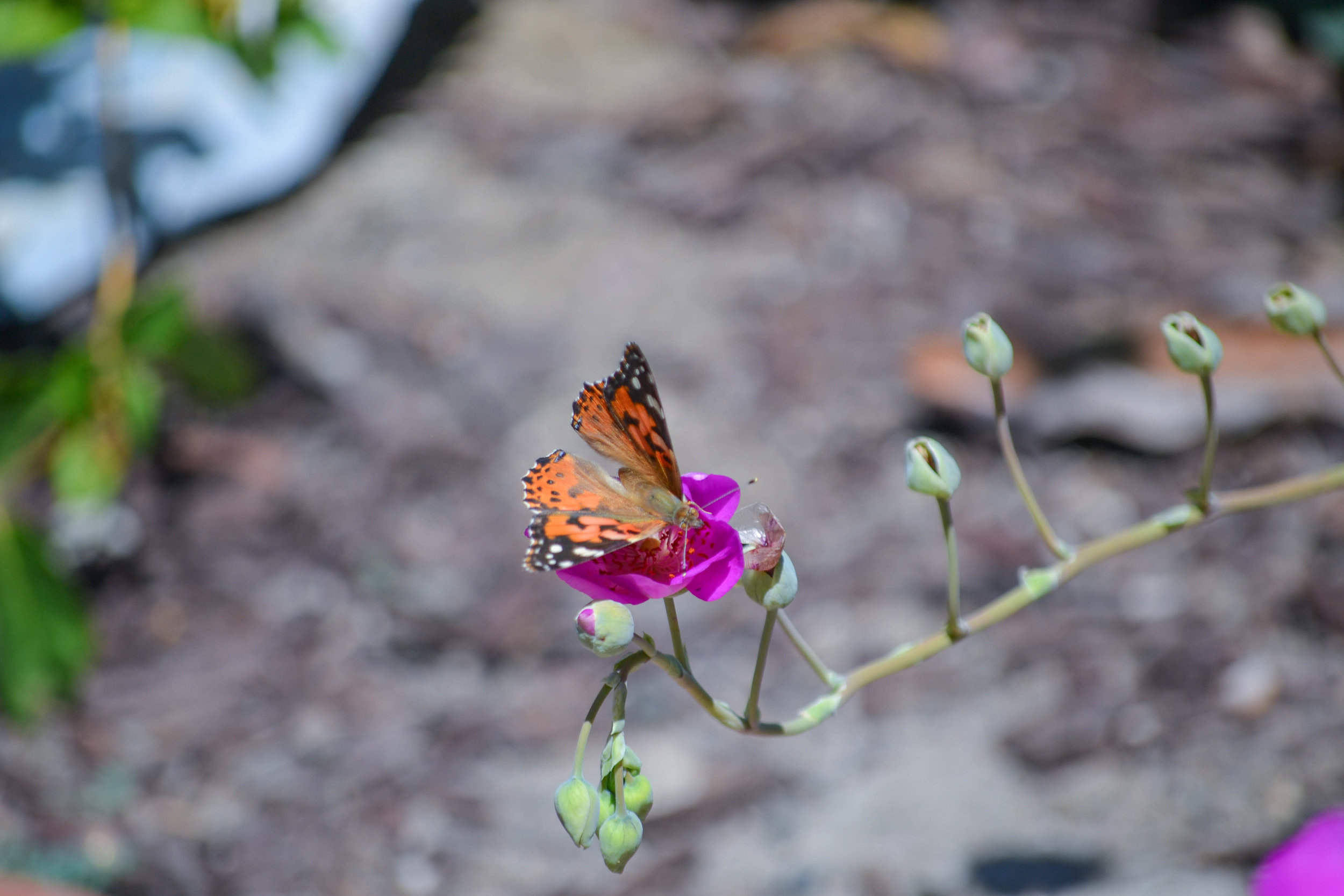 bri rinehart; california; photography; butterfly; nature