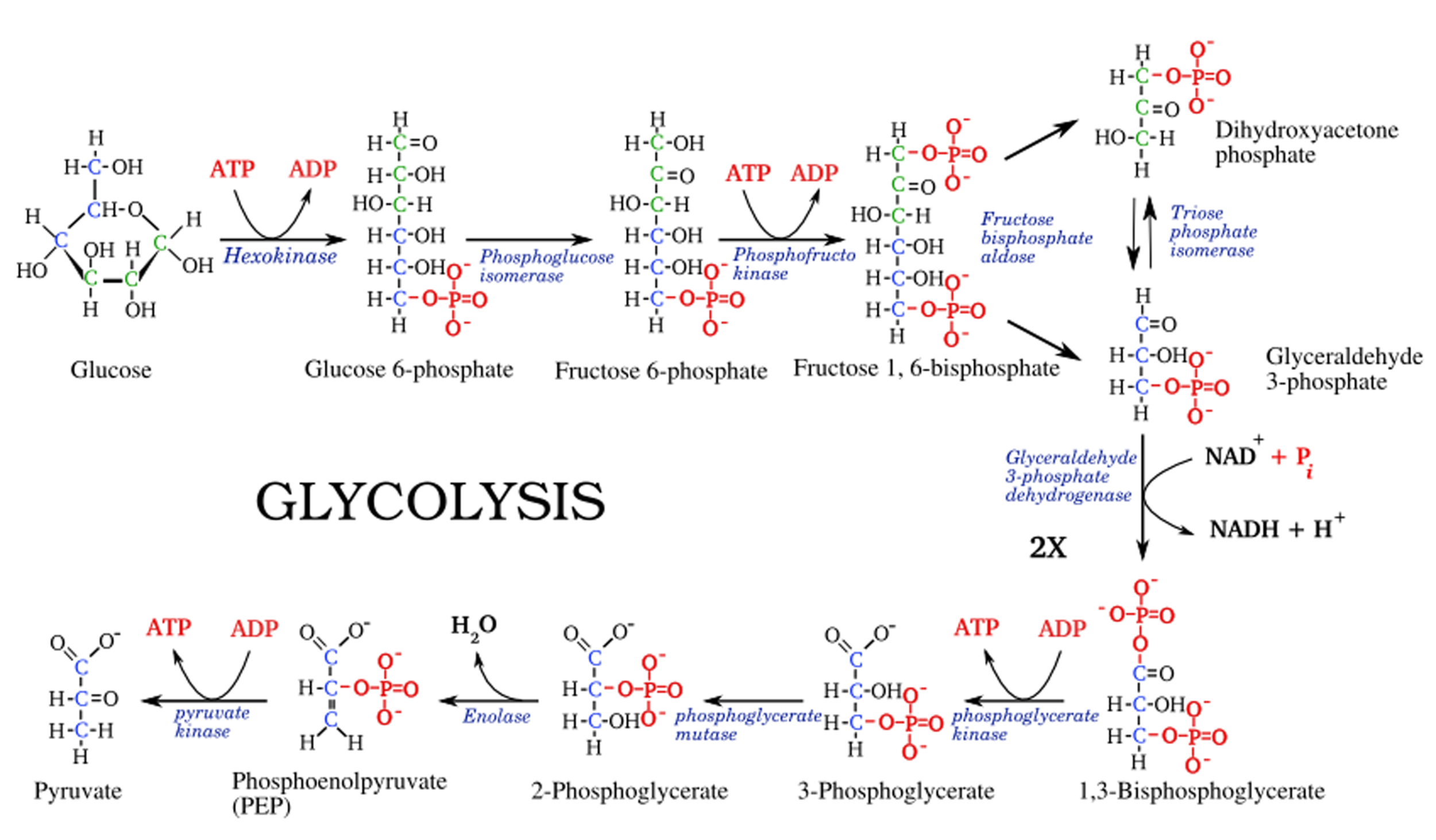 Glycolysis1.png