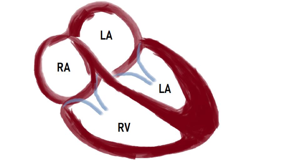 heart-chambers
