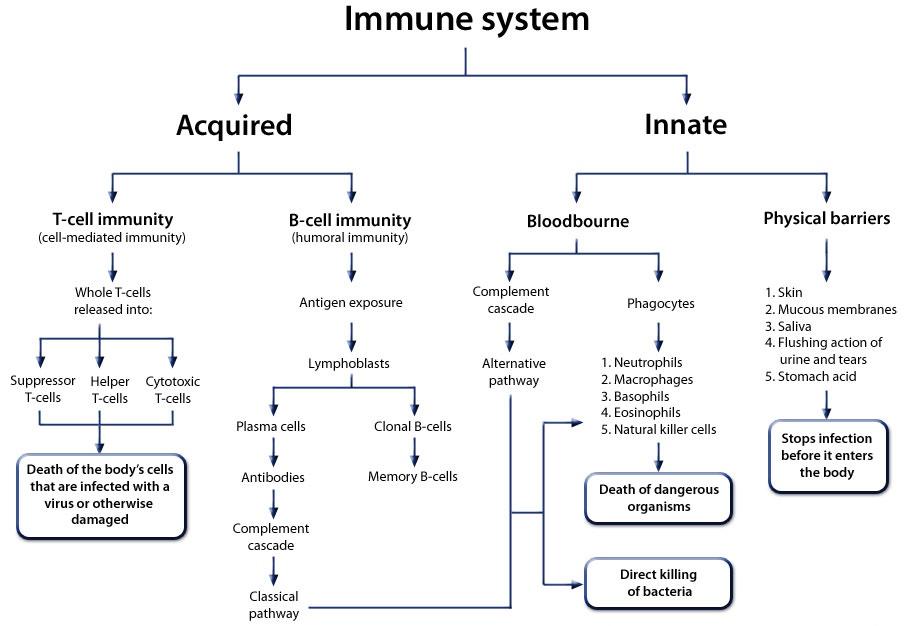Immune_system_large.jpg